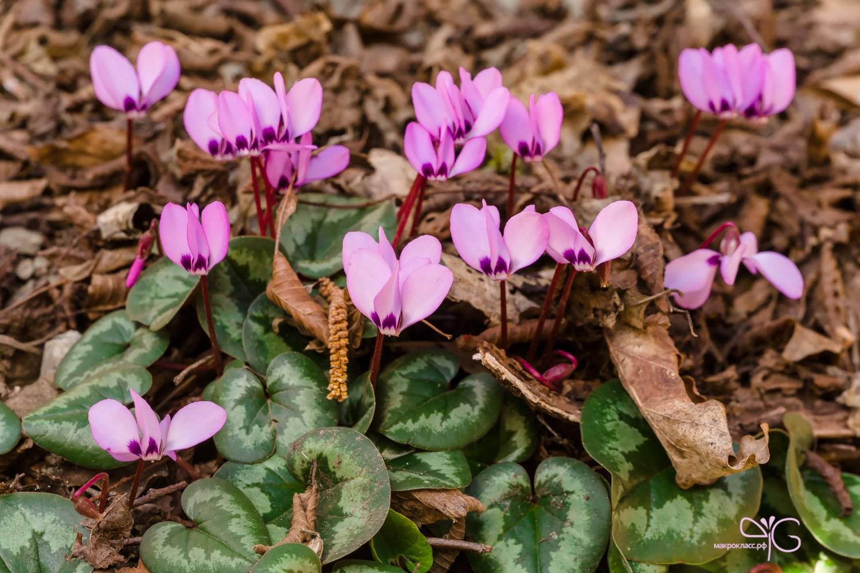 фотографии первоцветы краснодарского края фото и названия самые
